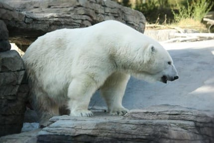 San Diego Zoo: Polar Bears