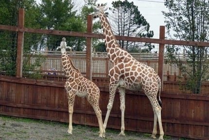 Animal Adventure Park: Giraffes