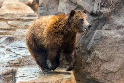 Reid Park Zoo: Grizzly Bears
