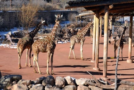Cheyenne Mountain Zoo: Giraffes