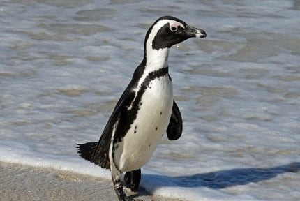 Animal Planet: African Penguins