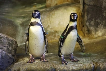 Kansas City Zoo: Penguins