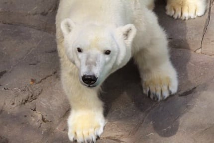 Kansas City Zoo: Polar Bears
