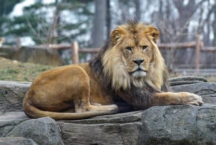 Maryland Zoo: Lions