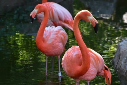 Maryland Zoo: Flamingos