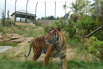 Edinburgh Zoo: Tigers