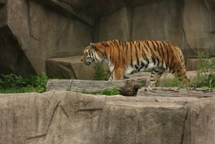 Milwaukee Zoo: Tigers