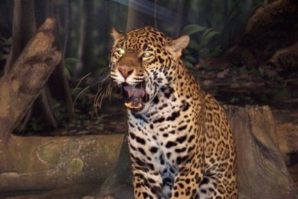 Milwaukee Zoo: Jaguars