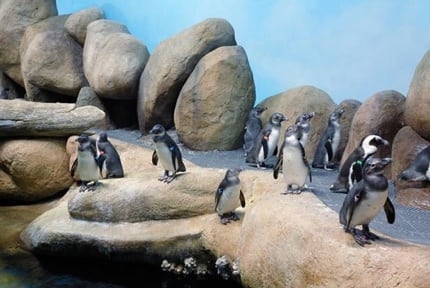 Cal. Academy of Sciences: Penguins